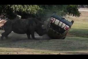 Носорог нападна автомобил